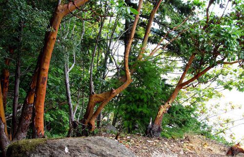 Cinnamon trees.
